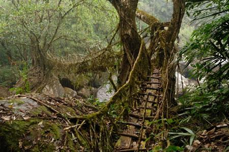 Living Root Bridges In Cherrapunjee